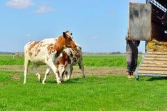 Kühe auf Viehbestandtransport Stockfotos
