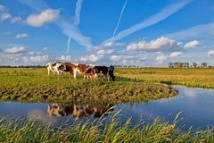 Kühe auf Weide über blauem Himmel Lizenzfreie Stockbilder