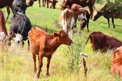 Kühe auf Weide Lizenzfreies Stockfoto