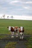 Kühe auf Weide Lizenzfreie Stockbilder
