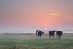 Kühe auf Weide bei nebelhaftem Sonnenaufgang Stockbilder