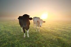 Kühe auf Weide bei Sonnenaufgang Stockfoto
