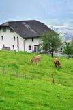 Kühe auf Weide, die Schweiz Stockfotografie