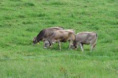 Kühe auf Weide, die Schweiz Lizenzfreies Stockbild