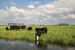 Kühe auf Weide durch Fluss stockfotos