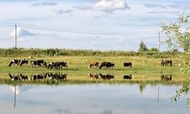 Kühe auf Weide im Sommer Stockbilder