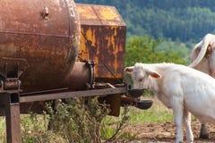Kühe auf Weide trinken Wasser vom Behälter Sommertag am Bauernhof in der Tschechischen Republik Lizenzfreies Stockbild