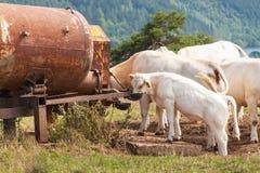 Kühe auf Weide trinken Wasser vom Behälter Sommertag am Bauernhof in der Tschechischen Republik Lizenzfreie Stockfotos