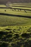 Kühe auf Weide in Yorkshire-Tälern Yorkshire England Lizenzfreie Stockfotos