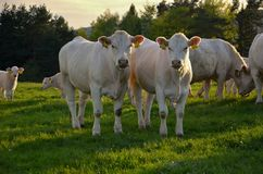 Kühe auf Wiese Lizenzfreie Stockfotografie