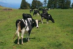 Kühe auf Wiese Stockfoto