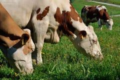 Kühe auf Wiese stockfotografie