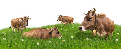 Kühe auf Wiese Stockbild