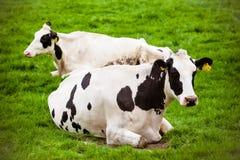 Kühe auf Wiese mit grünem Gras Lizenzfreies Stockbild