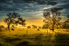 Kühe bei dem Sonnenuntergang Stockfoto