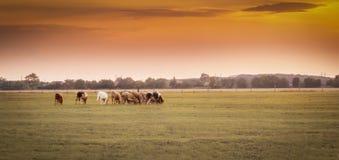 Kühe bei Sonnenuntergang stockbild