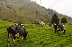 Kühe in Cocora-Tal lizenzfreies stockbild