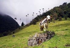 Kühe in Cocora-Tal, Cordiliera-Zentrale, Salento, Kolumbien lizenzfreies stockfoto