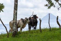 Kühe in Costa Rica lizenzfreies stockfoto