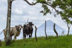 Kühe in Costa Rica stockbild