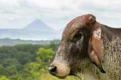 Kühe in Costa Rica lizenzfreie stockfotos