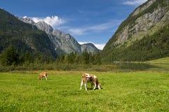 Kühe in den Alpen Stockfotografie