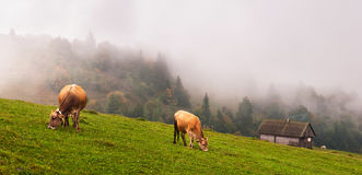 Kühe in den Alpen Lizenzfreies Stockfoto