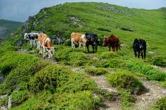 Kühe in den Bergen Lizenzfreie Stockfotos