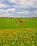 Kühe in den Bergen von Urbasa, Navarra Stockfoto