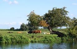Kühe in den Cambridgeshire-Fennen Lizenzfreies Stockfoto
