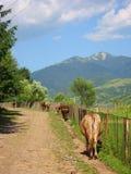 Kühe in den ukrainischen Bergen Stockfotos