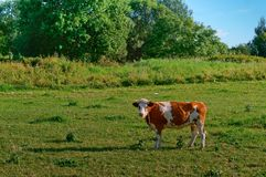 Kühe in den Wiesen, rote Kühe auf einer grünen Weide Lizenzfreies Stockfoto