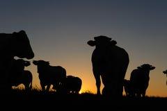 Kühe an der Dämmerung Lizenzfreies Stockfoto