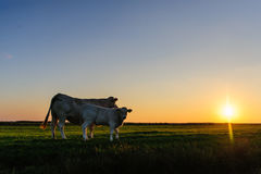 Kühe an der Dämmerung Lizenzfreie Stockbilder