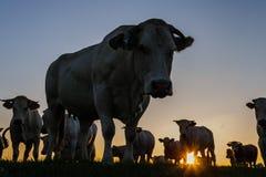 Kühe an der Dämmerung Stockbild