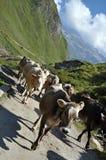Kühe in der ertragsarmen Weide Stockfoto