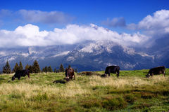 Kühe in der grünen Weide Stockbild