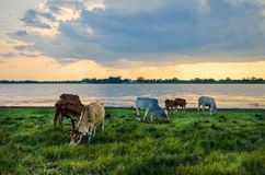 Kühe in der grünen Wiese Stockfotografie