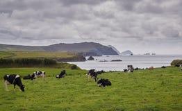 Kühe an der irischen Küste Lizenzfreies Stockfoto