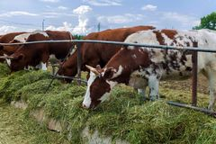 Kühe in der Koppel - Hirtenbild auf Viehland Stockbilder