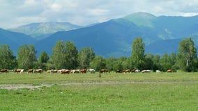 Kühe in der Natur weiden lassend auf der grünen Wiese stock footage
