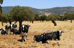 Kühe der orange Farbe weiden lassend zwischen Flussinseleichen N Lizenzfreie Stockfotos