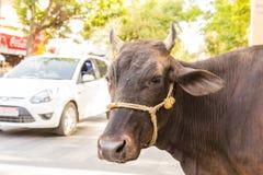Kühe an der Seite der Straße in Indien Stockfoto