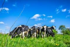 Kühe in der Sommerzeit Stockfoto