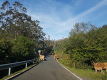 Kühe in der Straße Stockfoto