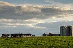 Kühe an der Versuchsfarm, Ottawa Lizenzfreies Stockbild