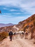 Kühe in der Wüste Lizenzfreies Stockbild