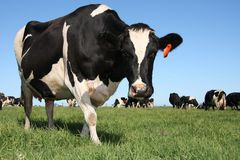 Kühe in der Weide Lizenzfreies Stockfoto