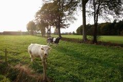 Kühe in der Weide Stockfotografie