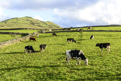 Kühe an der Weide, Flores-Insel, Azorres-Archipel (Portugal) Stockfoto